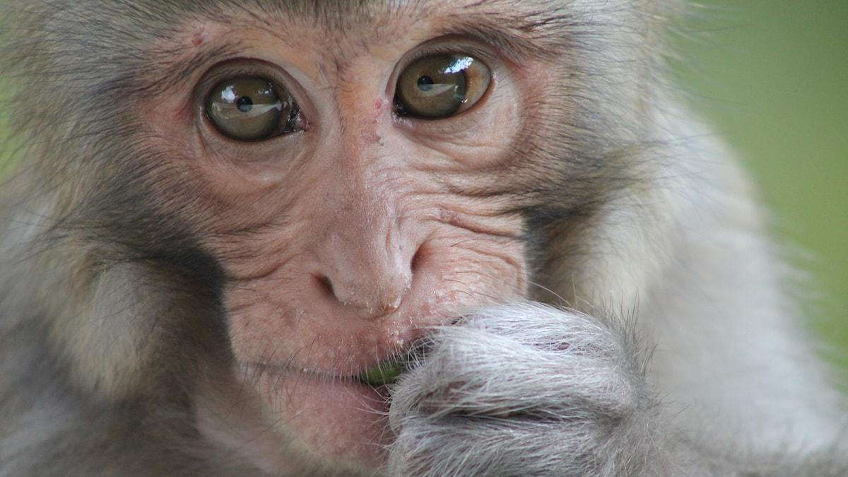 Surullinen apina