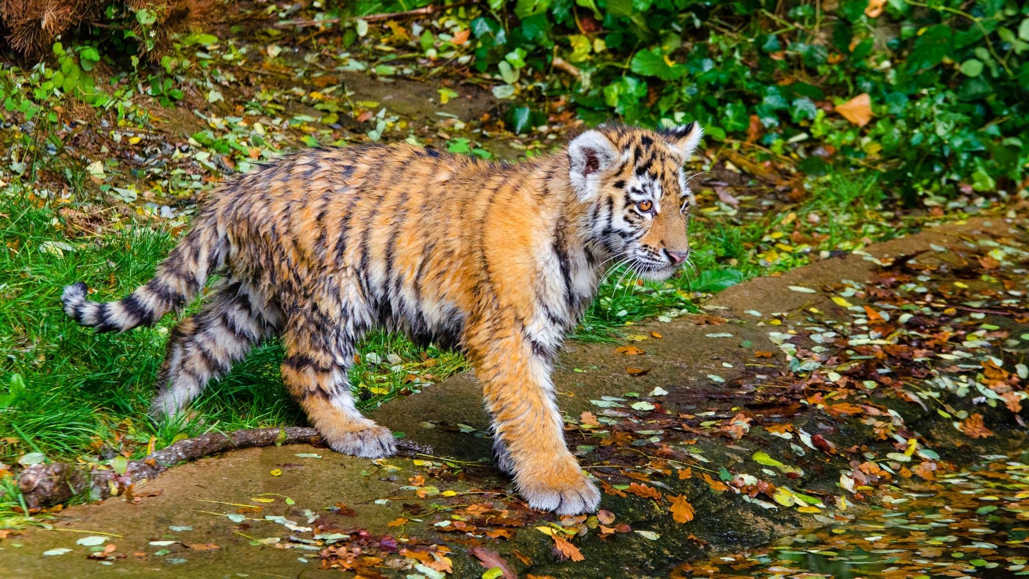 Satu: Tiikeri