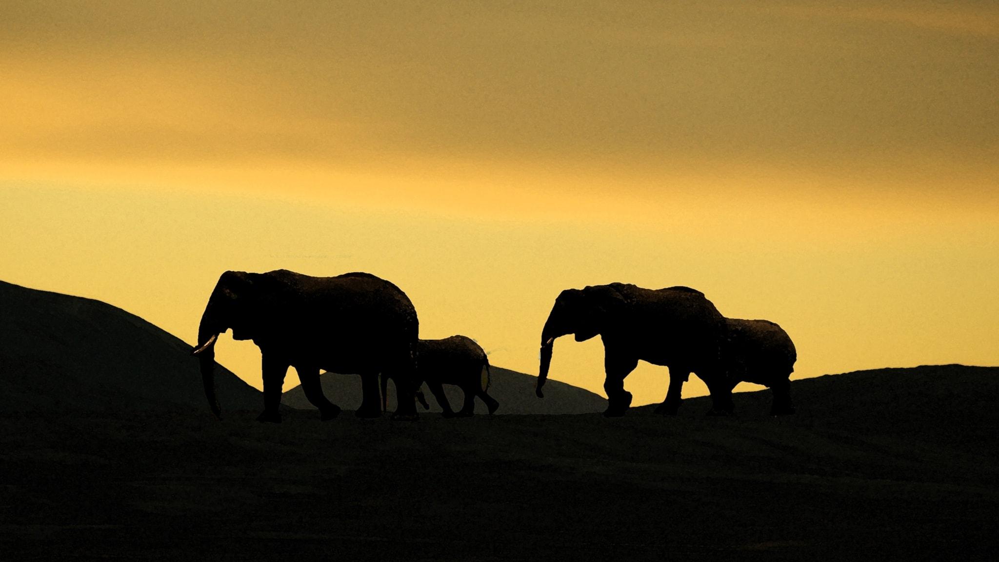 Musatarina: Norsu vai elefantti?