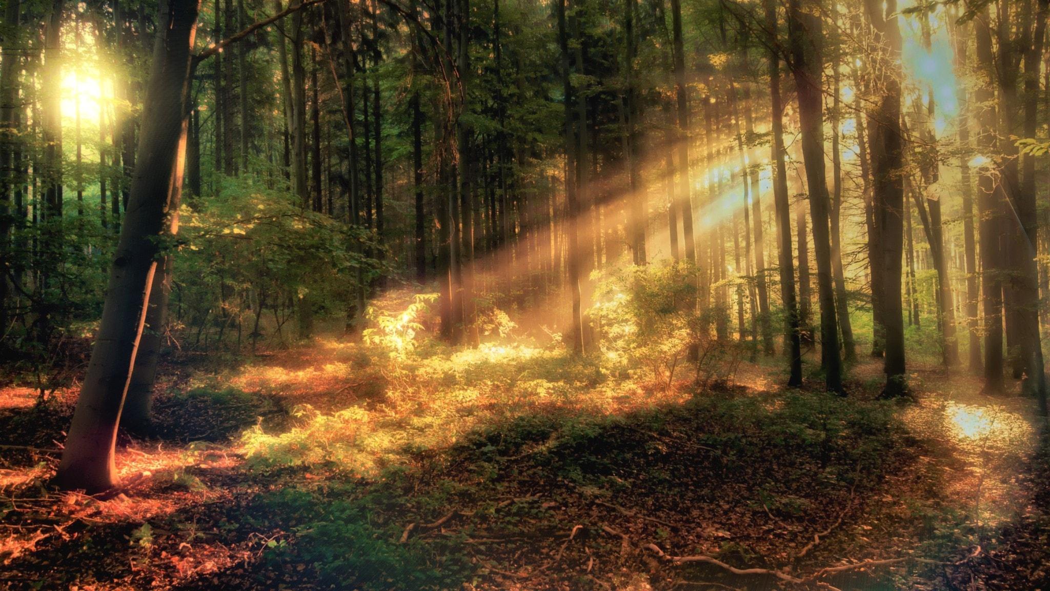 Metsässä auringonvalo paistaa läpi puunrunkojen