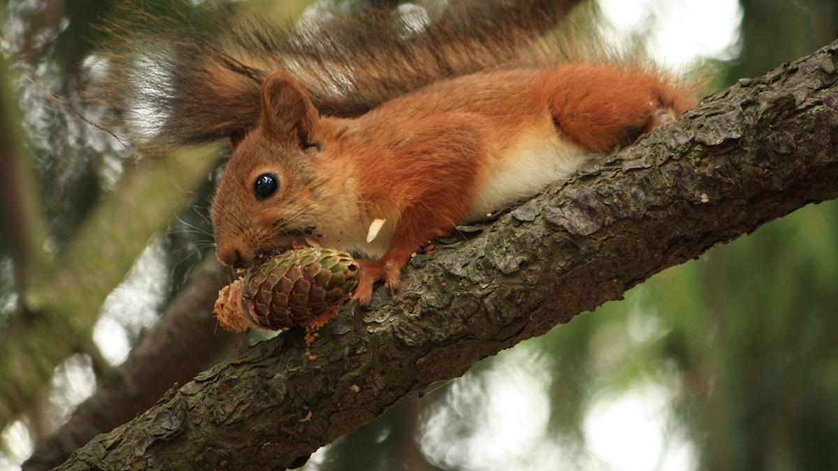 Orava puussa, käpy suussa