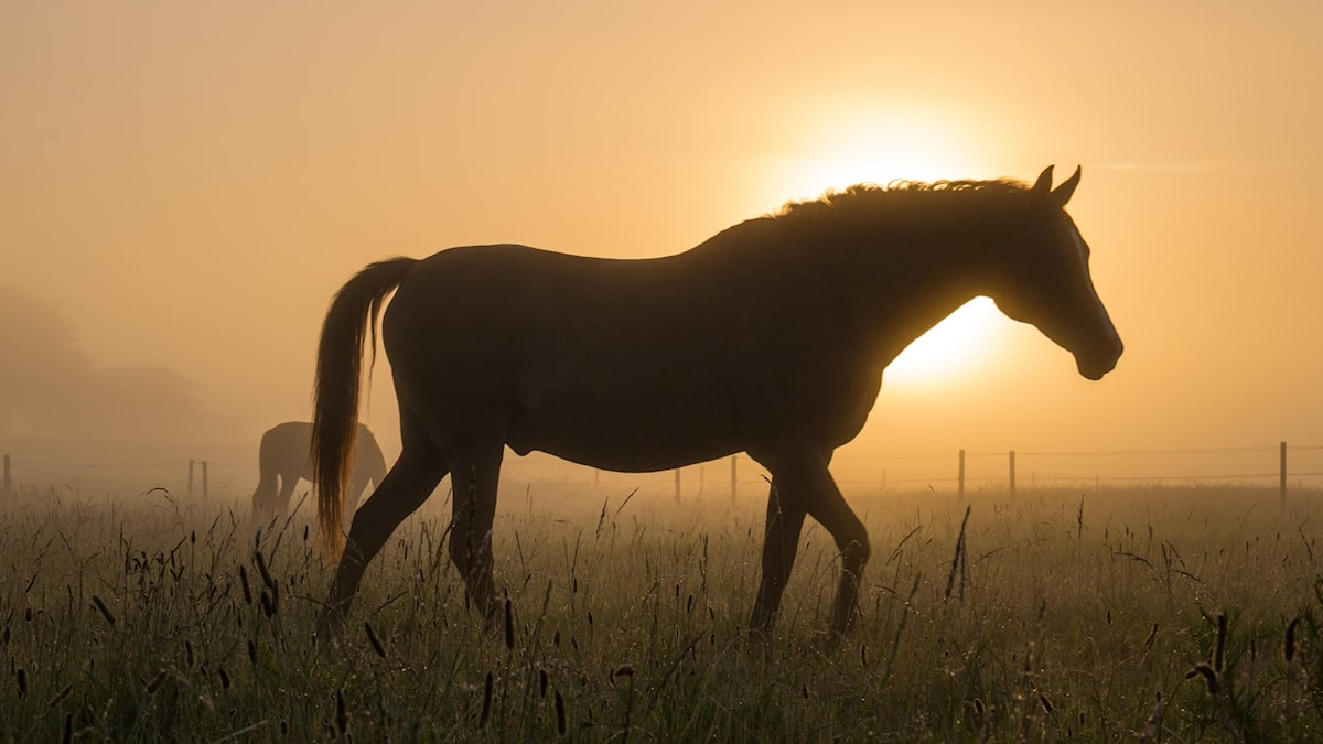 Hevoset sumuisella niityllä