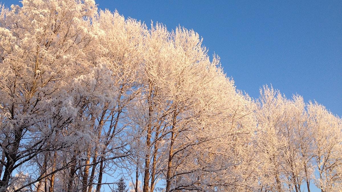 Talviset puut sinistä taivasta vasten
