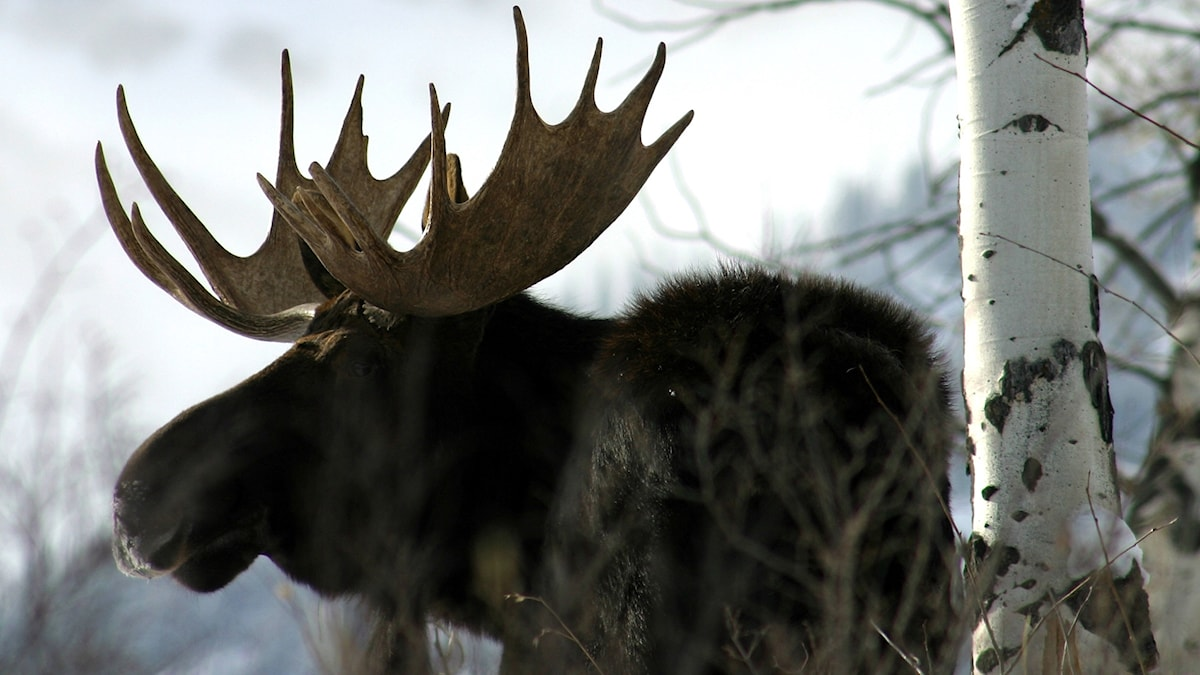 Bull moose Jackson WY