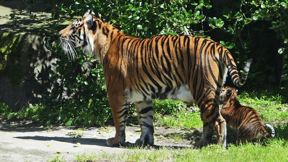 Tiikeriäiti ja tiikerivauva