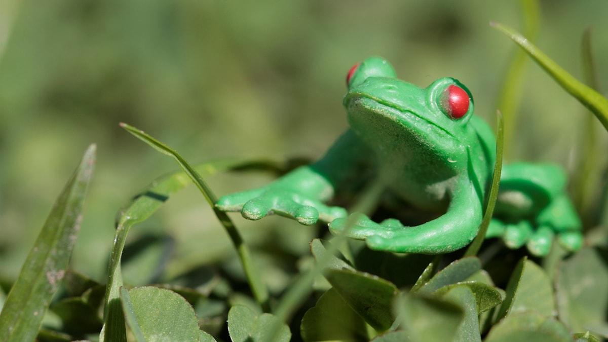 Maailman myrkyllisin sammakko?