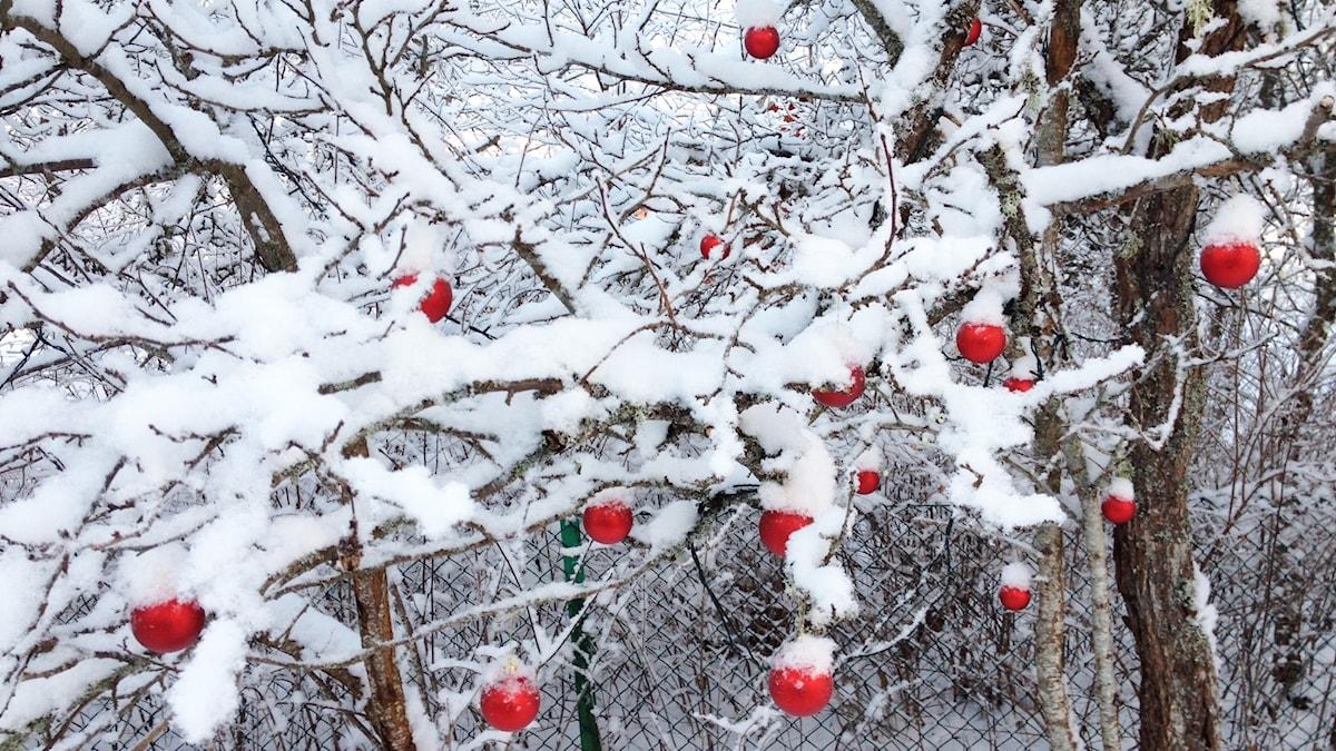 Punaisia palloja lumisessa pihapuussa