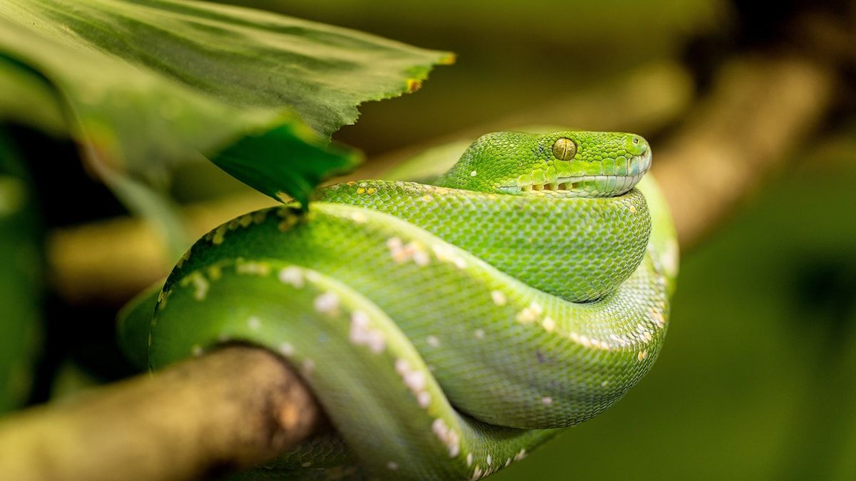 Vihreä käärme puussa