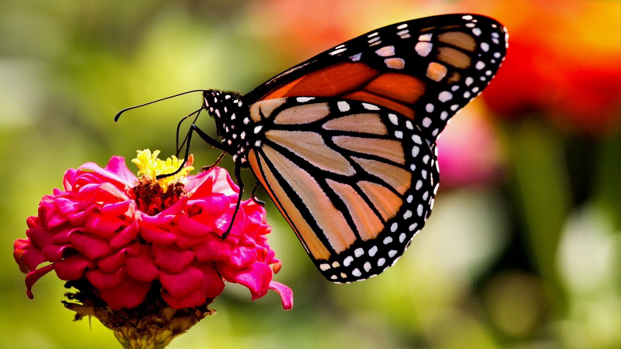 Perhonen kukassa