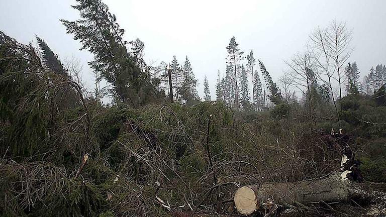 stormen Gudrun drog in över södra Sverige och orsakade enorm förödelse.