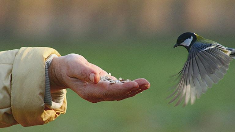 Talgoxe äter frön från hand
