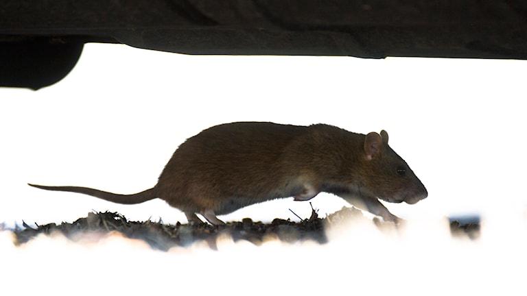 En råtta. Foto: Fredrik Sandberg/TT