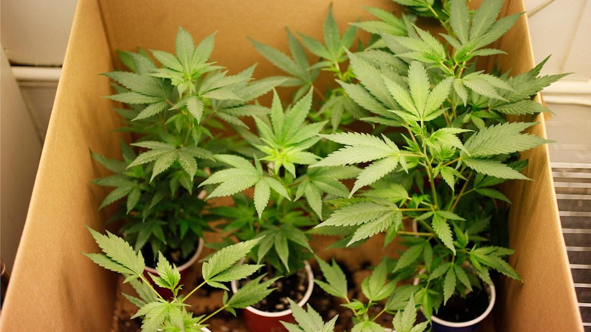 Cannabisplantor i en kartong