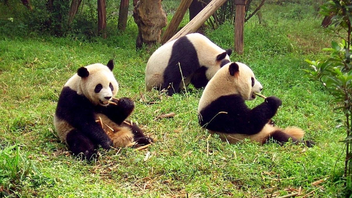 Jättepandor som bor på Chengdu Giant Panda Breeding Research Base. (OBS pandorna på bilden är inte samma pandor som ska flytta till Finland).