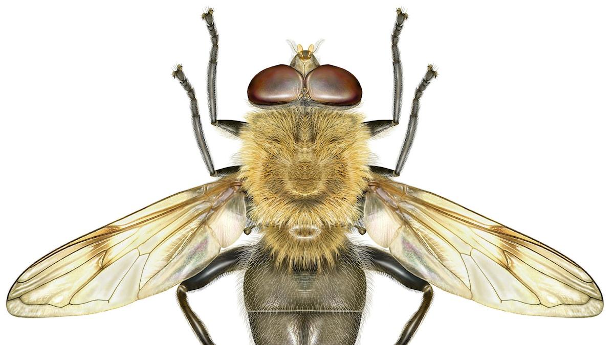 En blomfluga, arctophilia superbiens, känner många till. Men vet du vad en sorgemygga är? Foto: Martin Holmer/SLU/TT