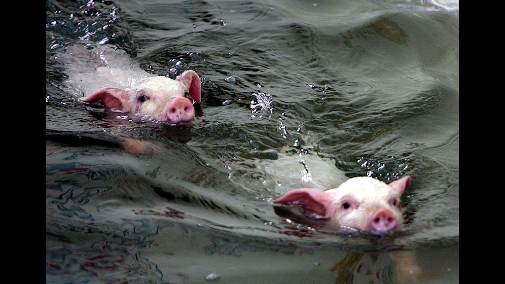 Grisar som simmar Foto: Eugene Hoshiko TT
