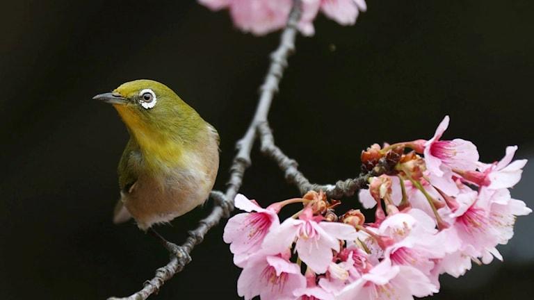 Japansk glasögonfågel.