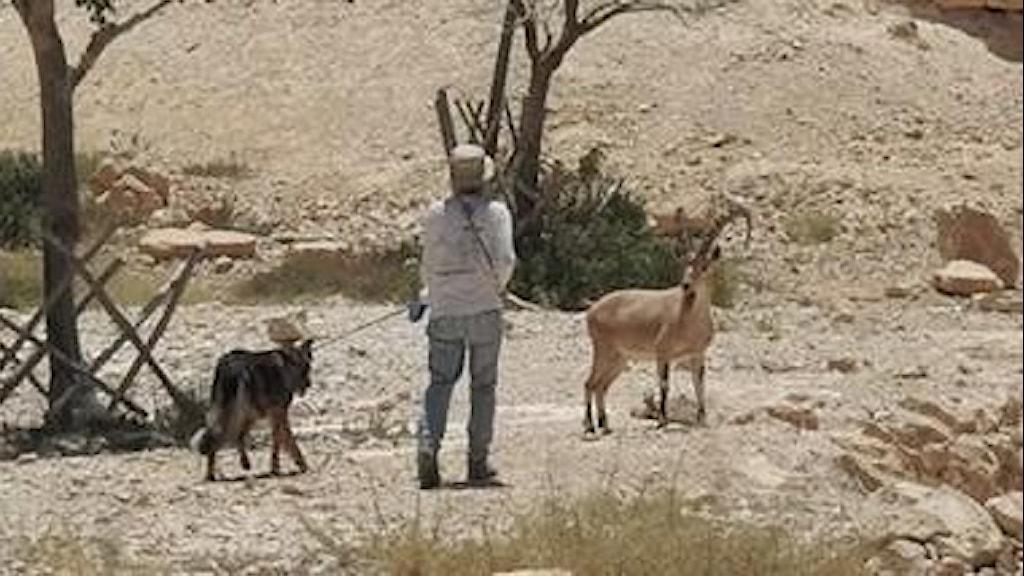 En man är ute och går med sin hund, bara ett par meter ifrån en nubisk stenbock.