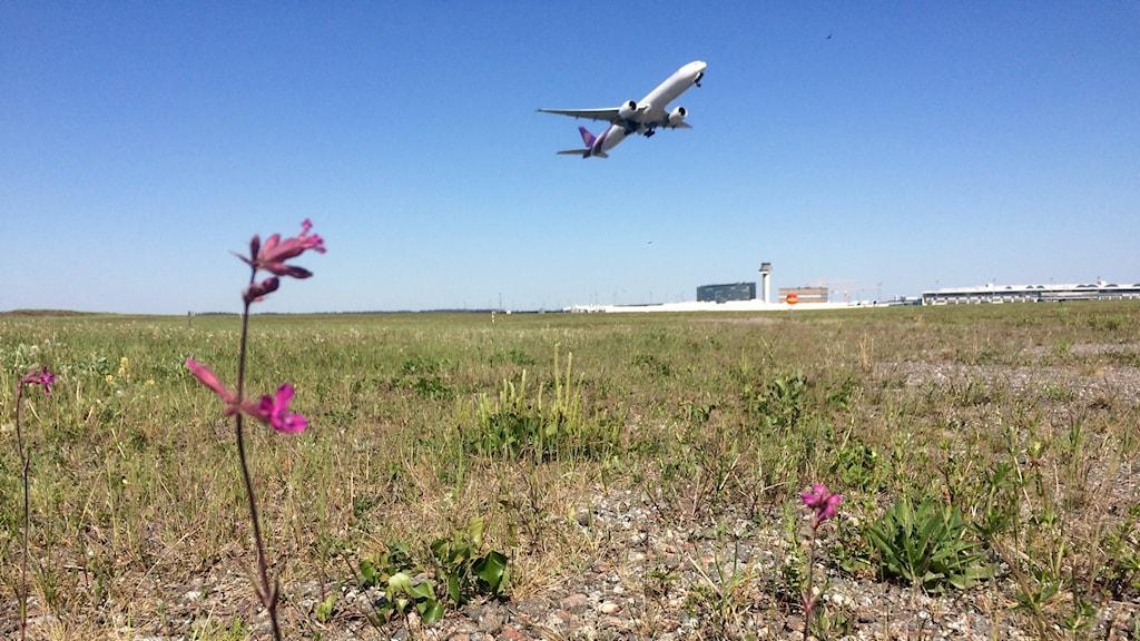 Tjärblomster, en av många ängsväxter som stormtrivs på Arlanda