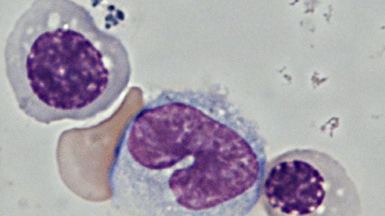 blodceller i mikroskop