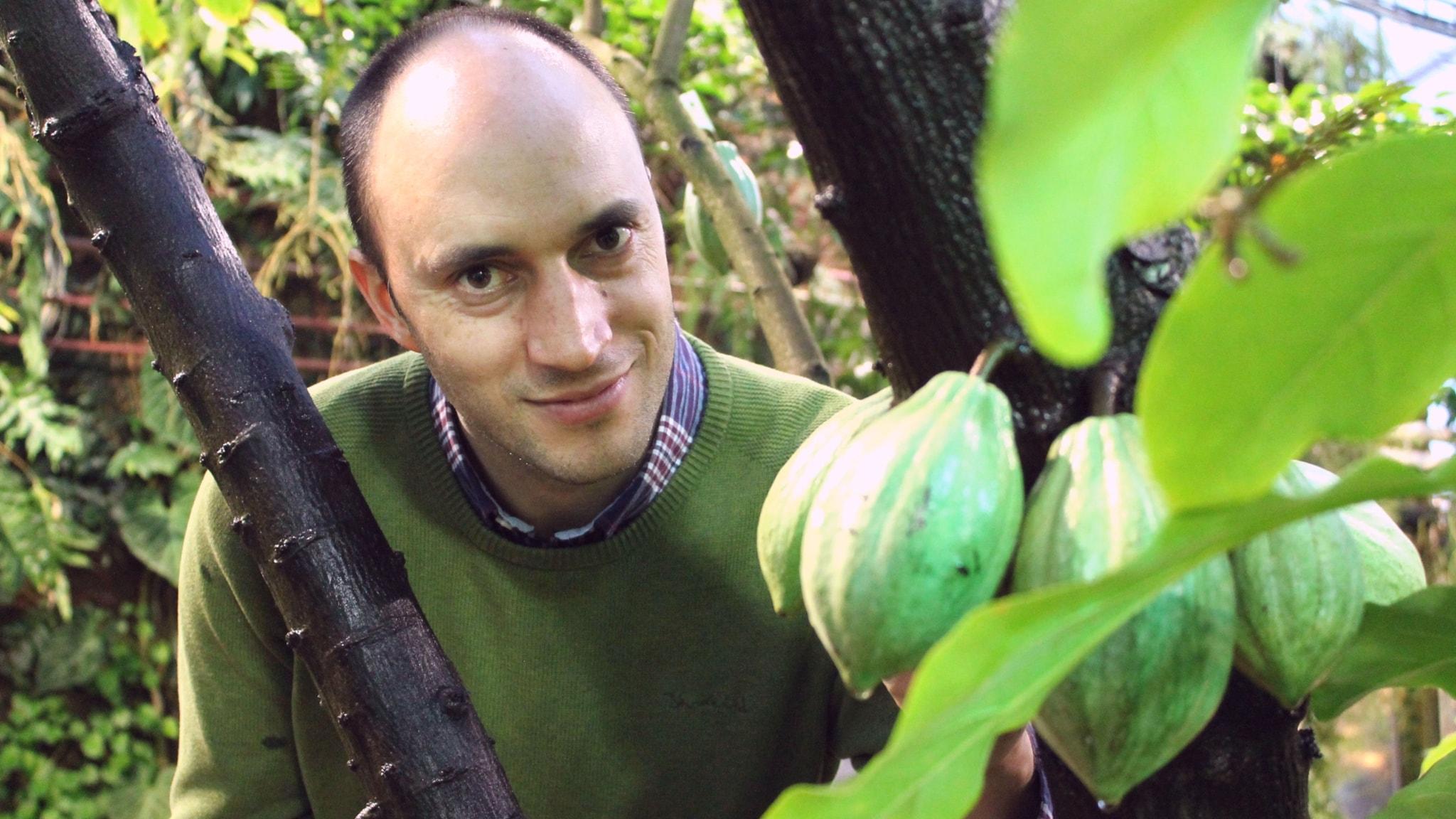 Forskaren i biologisk mångfald, Alexandre Antonelli vid ett kakaoträd i växthusen i botaniska trädgården i Göteborg.