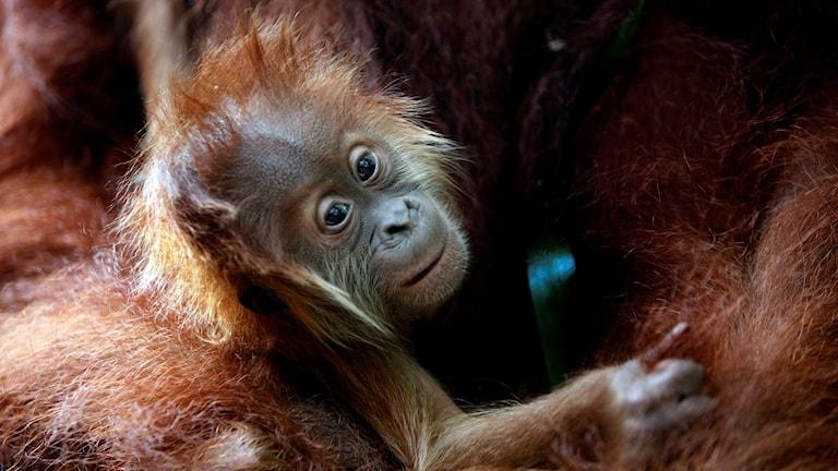 tre månader ung apunge