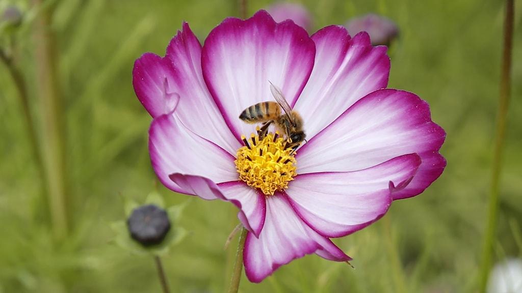 Ett svart och gult bi som sitter på en rosa blomma.