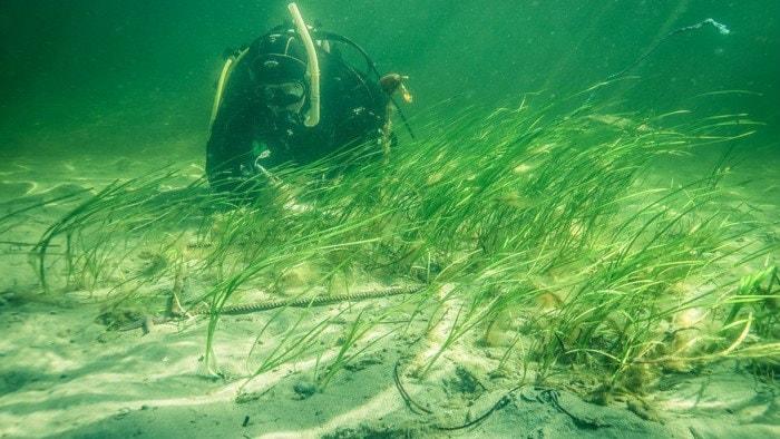 Dykare vid ålgräs