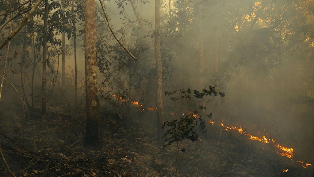 Skogsbrand i Amazonas
