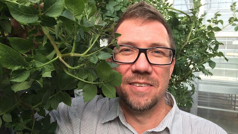 Crisper-potatisen och Mathias Samuelsson, forsknings-- och utvecklingschef på Sveriges Stärkelseproducenter.