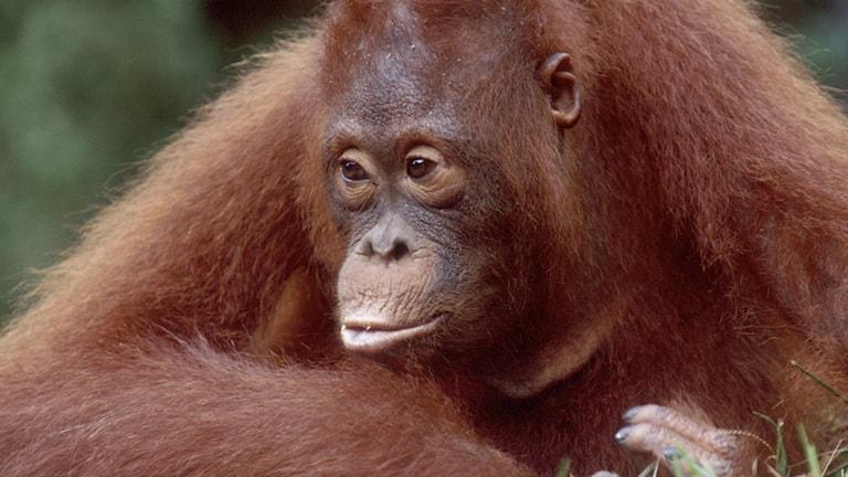 Orangutang ser fundersam ut