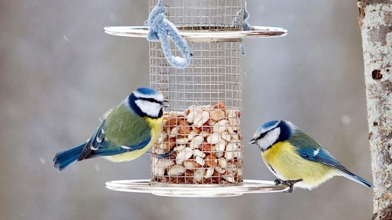 Två blåmesar sitter på en fågelmatare med jordnötter.