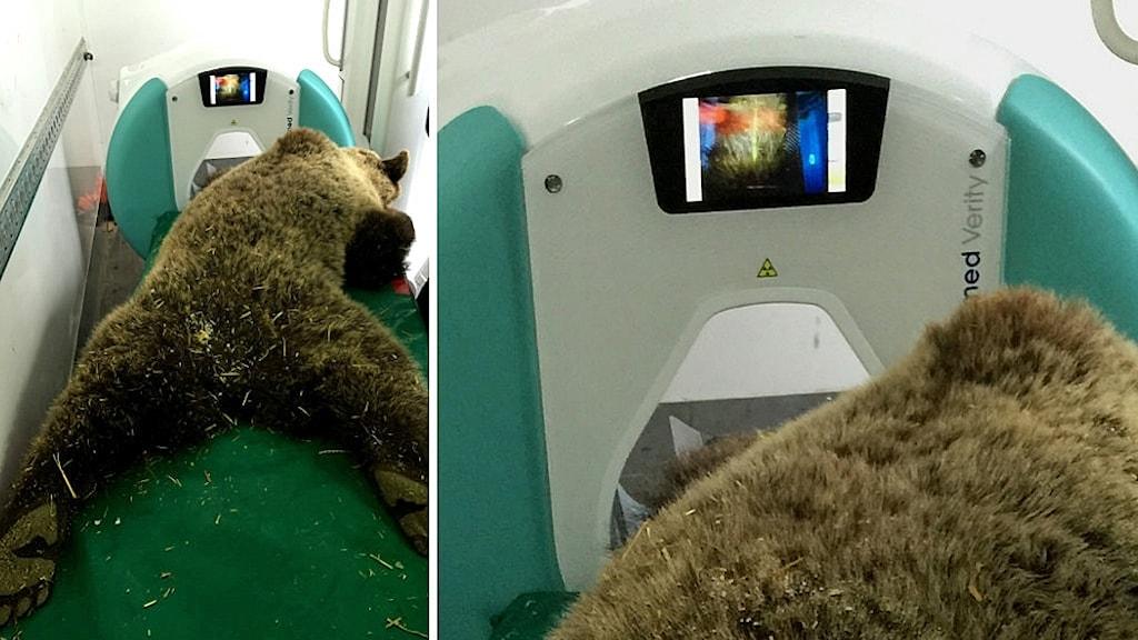 En brunbjörn ligger utslagen på britsen i en skitröntgenapparat
