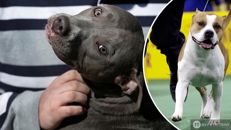 Delad bild där den vänstra visar en pitbull terrier och den högra en american staffordshire terrier.