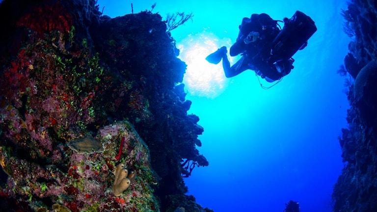 En dykare är på väg ner till havets skymningszon. På bergkanten växer koraller, havets yta skiner starkt i azurblått.