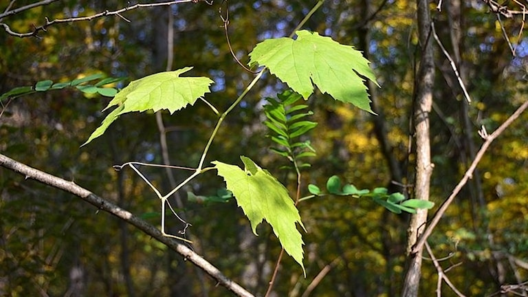Gröna blad till vinranka