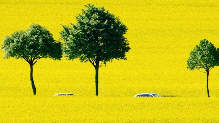 tre gröna träd i stark kontrast till ett illgult rapsfält