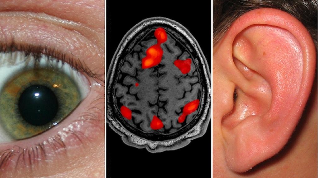 Ett öga och ett öra, men i centrum är hjärnan som styr vilket sinne som är viktigast.