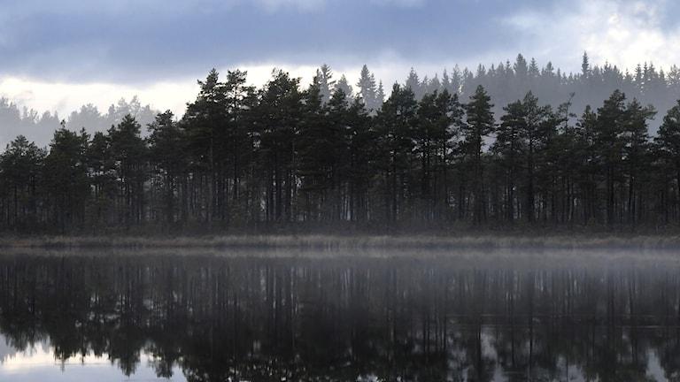 Skogssjö i dimma. Med kant av barrskog.
