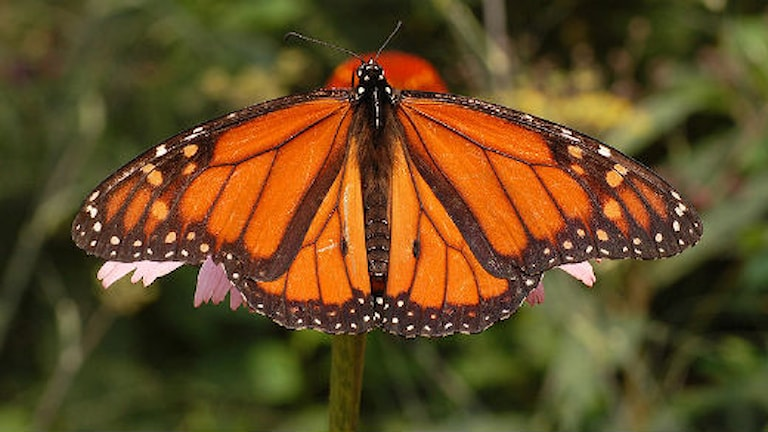 Monarkfjäril. Foto: Wikimedia commons