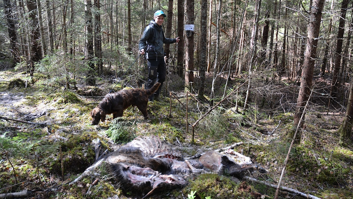 En person går med en hund. Intill dem ligger ett kadaver av en kronhjort.