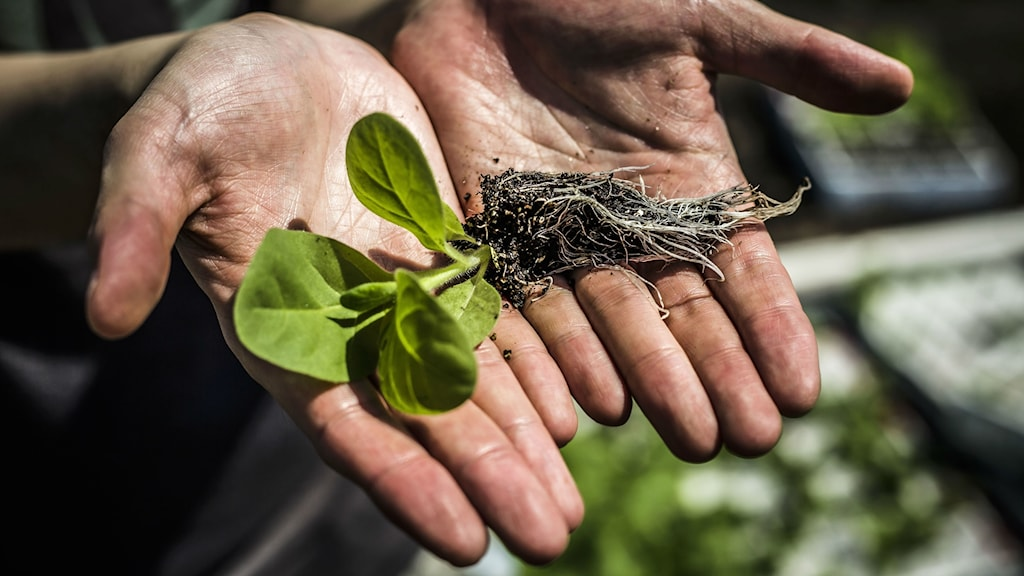 En tobaksplanta ligger i handflatorna på två händer.