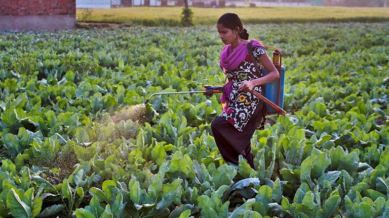 Indisk kvinna i lila och småmönstrat sprutar insektsmedel i kålodling. Hon bär en ryggspruta men inget andningsskydd.