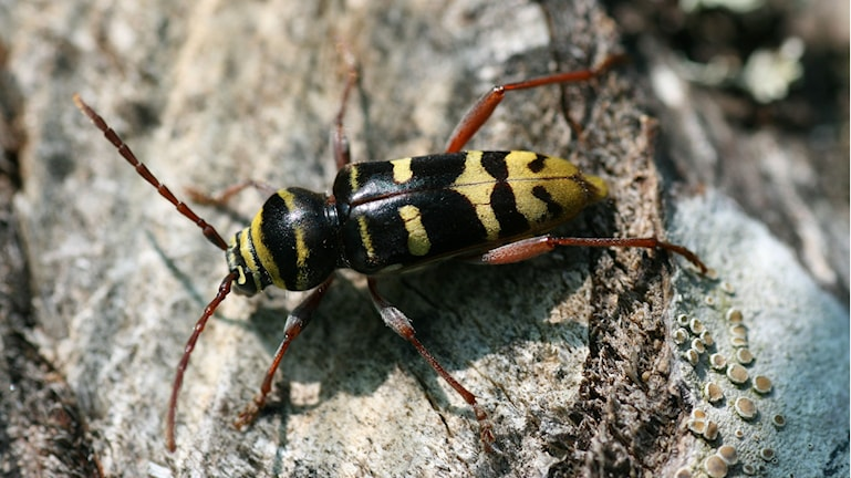 En när bild på insekten bredbandad ekbarkbock.
