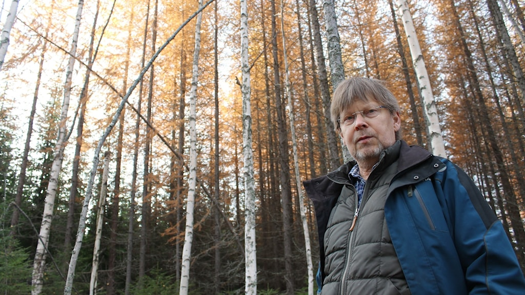 Tomas Lundmark, professor vid Institutionen för skogens ekologi och skötsel vid Sveriges lantbruksuniversitet i Umeå. Här i en skog med lärk och björk i Vindeln.