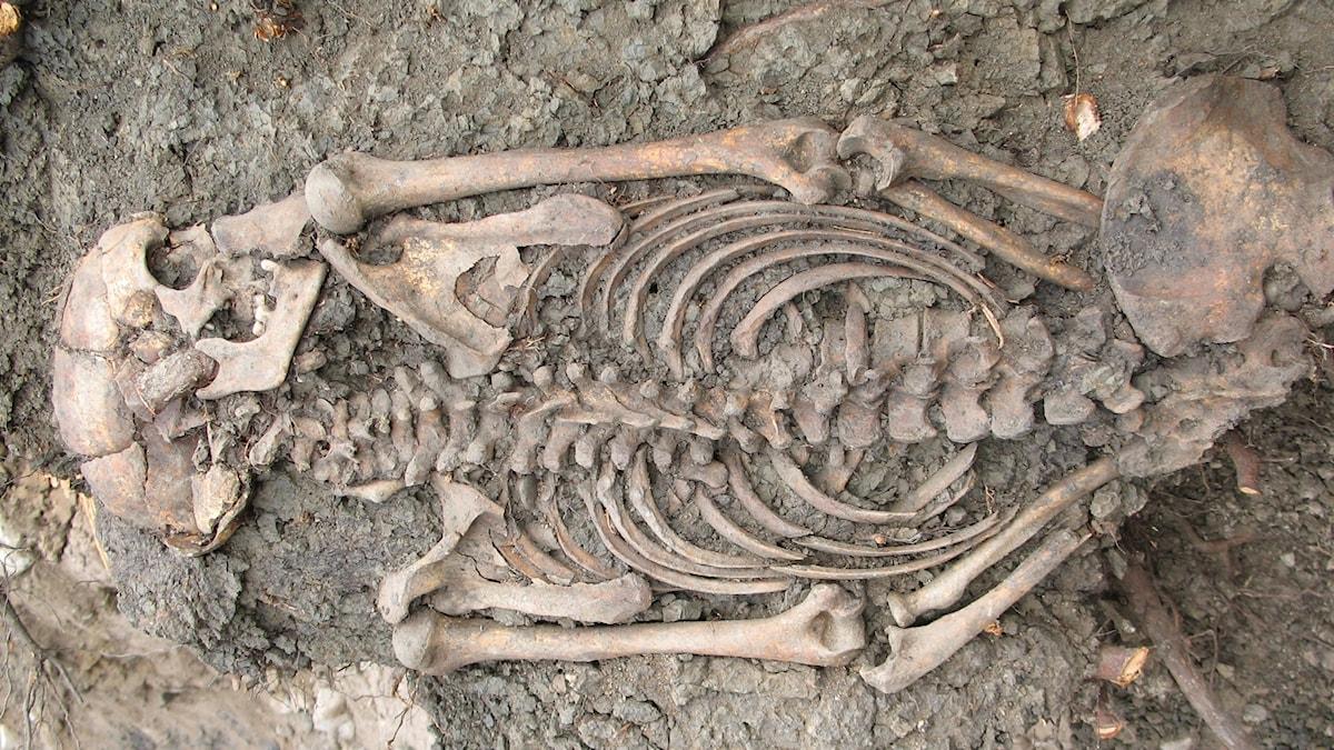 Ett skelett som blivit framgrävt.