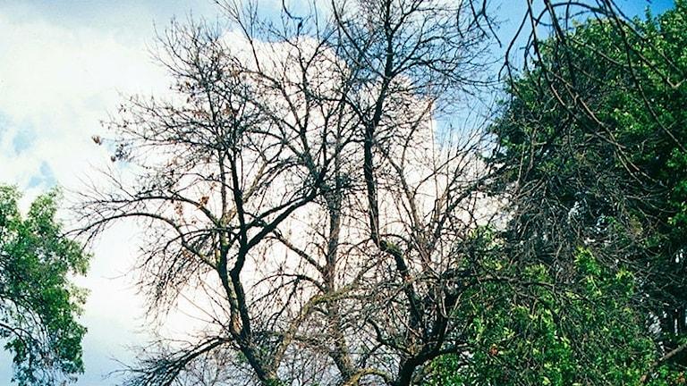 Kronan på ett askträd i Nordamerika som angripits av den smaragdgrön asksmalpraktbaggen.