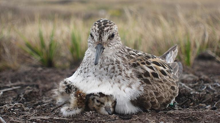 Sandsnäppa vaktar sina ungar