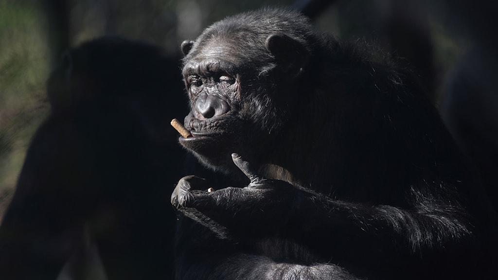 Schimpans tuggar på en pinne