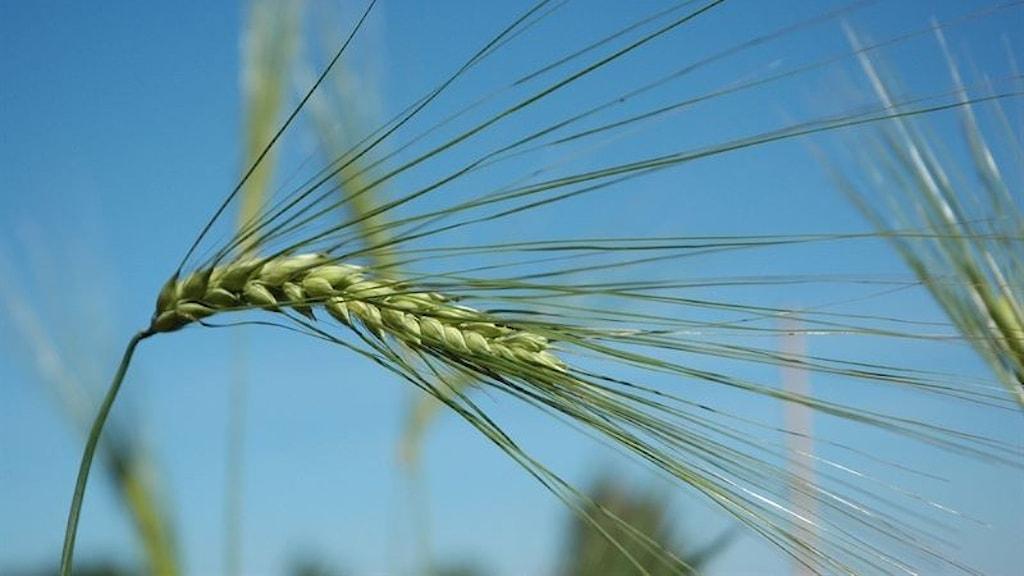 Ett ax av jämtländskt korn mot blå himmel.
